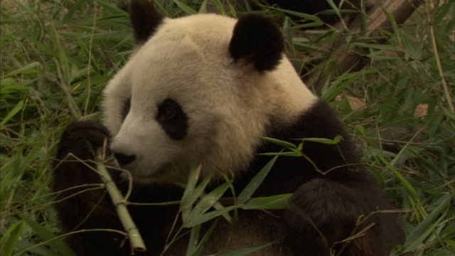 stockvideo's en b-roll-footage met cu giant panda (ailuropoda melanoleuca) eating branches of bamboo, wolong national nature reserve, sichuan, china - bamboo plant