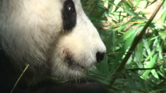 vidéos et rushes de (hd1080i) panda géant manger - panda