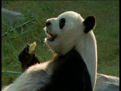 vídeos y material grabado en eventos de stock de giant panda eats bamboo in atlanta zoo - panda animal
