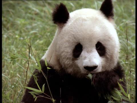 A giant panda eats leaves.