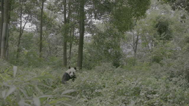 giant panda in the woods of wolong panda reserve - panda stock-videos und b-roll-filmmaterial