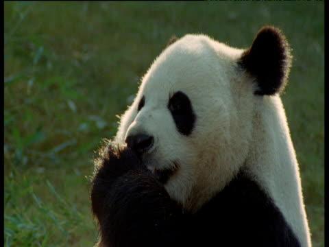 vídeos y material grabado en eventos de stock de giant panda licks its paws in atlanta zoo - panda animal