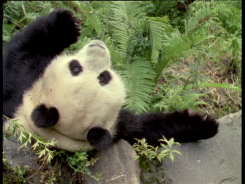 giant panda lying on its back on rocks - lying on back stock videos & royalty-free footage