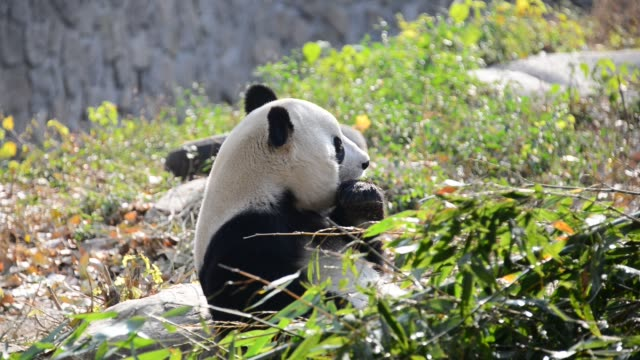 giant panda meng lan eats bamboo shoot at beijing zoo on november 12 2018 in beijing china - bamboo shoot stock videos & royalty-free footage
