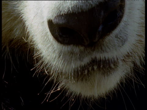 giant panda nose and mouth, atlanta zoo - maul stock-videos und b-roll-filmmaterial