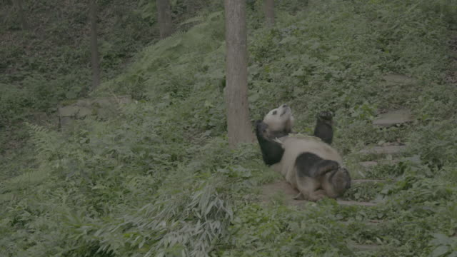 giant panda on its back eating bamboo in wolong panda reserve - lying on back stock videos & royalty-free footage