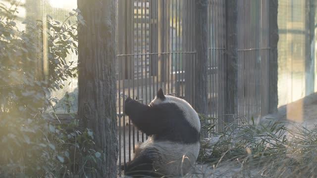 giant panda plays in beijing zoo. - protection点の映像素材/bロール