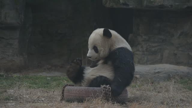 vidéos et rushes de giant panda plays in beijing zoo - panda