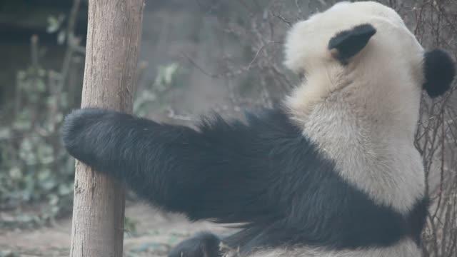 vídeos y material grabado en eventos de stock de giant panda plays in beijing zoo - panda animal