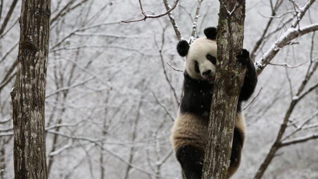 vídeos y material grabado en eventos de stock de a giant panda plays on a tree in heavy snow on november 16 2018 in hanzhong shaanxi province of china - panda animal