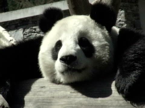 CU, Giant panda (Ailuropodia melanoleuca) resting on log, headshot, Chengdu, Sichuan , China