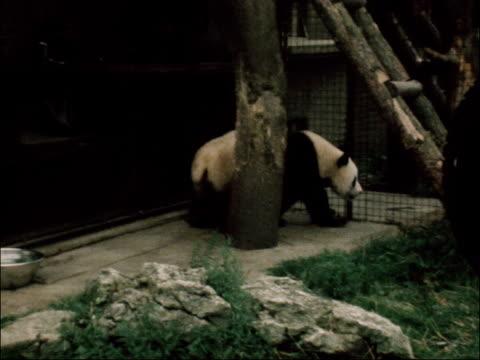 stockvideo's en b-roll-footage met giant panda returns to london zoo england london london zoo giant panda along in zoo enclosure tx - omsloten ruimte