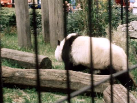 vídeos de stock, filmes e b-roll de giant panda returns to london zoo england london london zoo ext giant panda along inside cage ms panda walks around enclosure cs mate cha cha resting... - parque regents