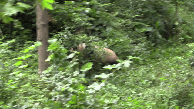 giant panda running into forest, panda center, wolong district - one animal stock videos & royalty-free footage
