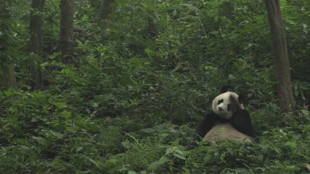 giant panda sitting in forest, panda center, wolong district - scratching stock videos & royalty-free footage