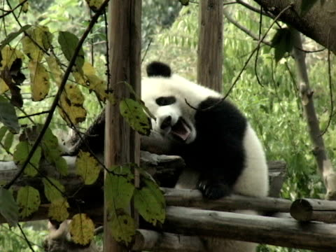 vídeos y material grabado en eventos de stock de ms, giant panda (ailuropodia melanoleuca) sleeping in tree house, chengdu, sichuan , china - panda animal