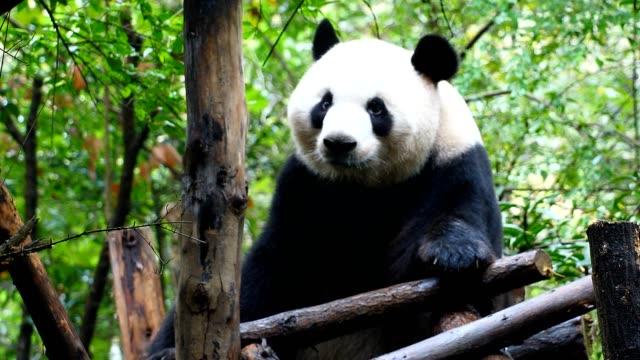 vidéos et rushes de panda géant - panda