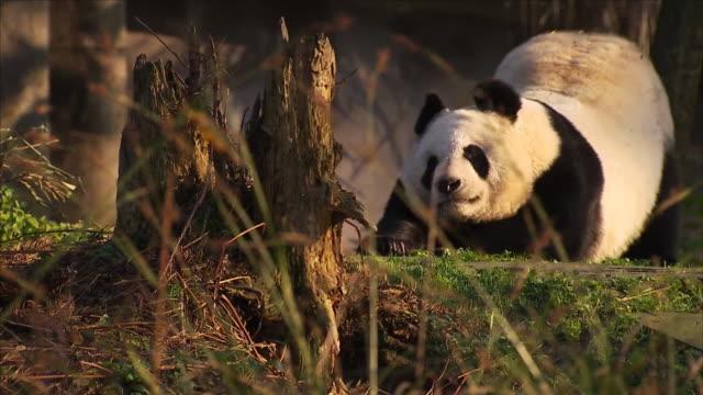 giant panda - one animal stock videos & royalty-free footage