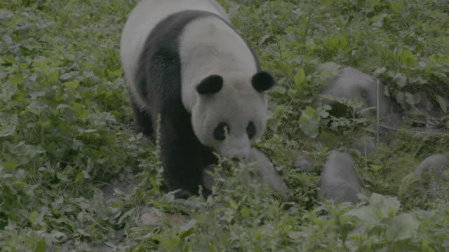 giant panda walking through wolong panda reserve - animal nose stock videos & royalty-free footage