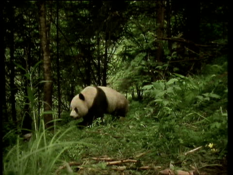 giant panda walks through the undergrowth of chengdu forest and towards camera - 成都点の映像素材/bロール