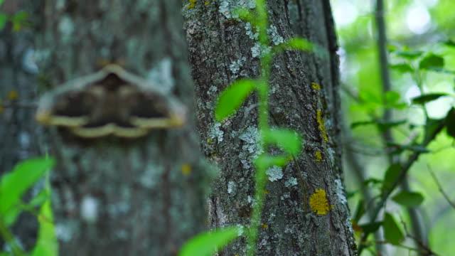 vídeos de stock, filmes e b-roll de giant peacock moth on a tree, sierra de guadarrama national park, madrid, spain, europe - camuflagem