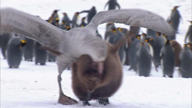 vídeos y material grabado en eventos de stock de giant petrel attacking a king penguin chick - pingüino cara blanca