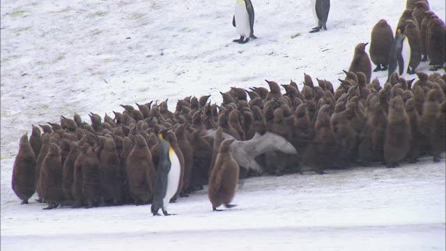 vídeos y material grabado en eventos de stock de giant petrel attacking king penguin chick among its colony - pingüino cara blanca