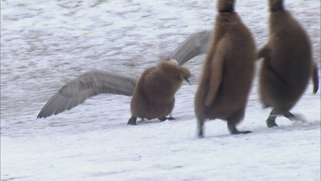 vídeos y material grabado en eventos de stock de giant petrel attacking king penguin chick - pingüino cara blanca