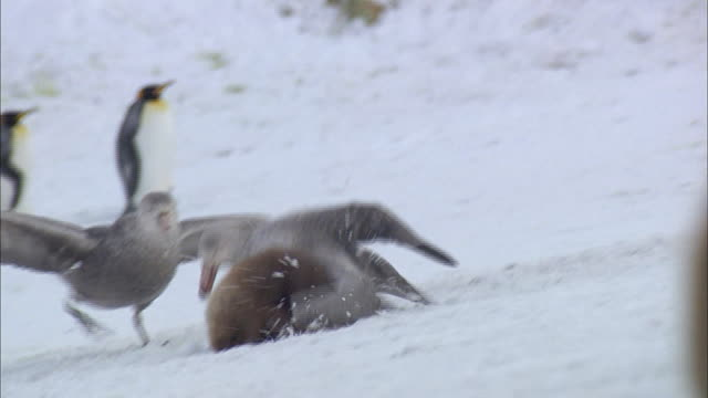 Giant Petrel attacking King Penguin chick