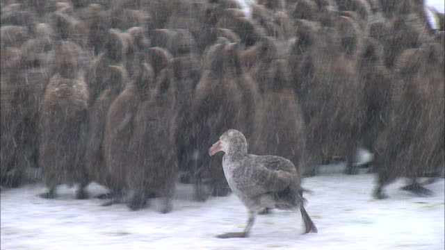 giant petrel finding its prey among the group of king penguin chicks - king penguin stock videos & royalty-free footage