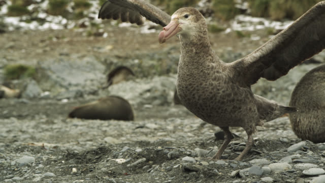 stockvideo's en b-roll-footage met giant petrel in fur seal colony, south georgia - atlantische eilanden