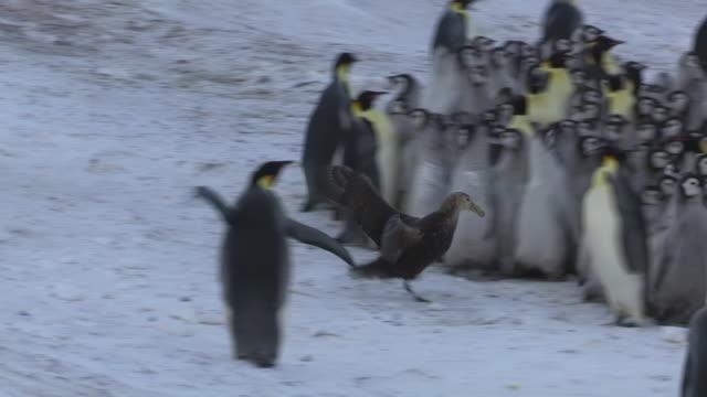 WS Giant petrel runs straight into Emperor penguin colony threatening the chicks