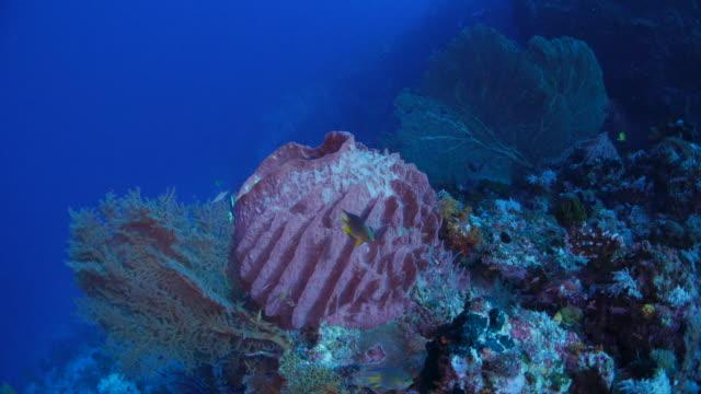 vídeos y material grabado en eventos de stock de esponja de barrera rosa gigante y abanicos de mar coral - esponja