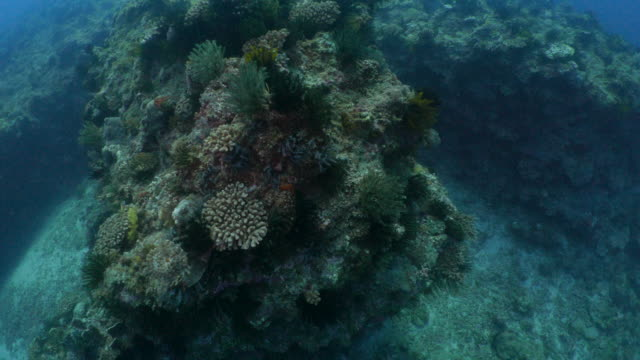 Giant pinnacle undersea, sea lily, finger coral colony