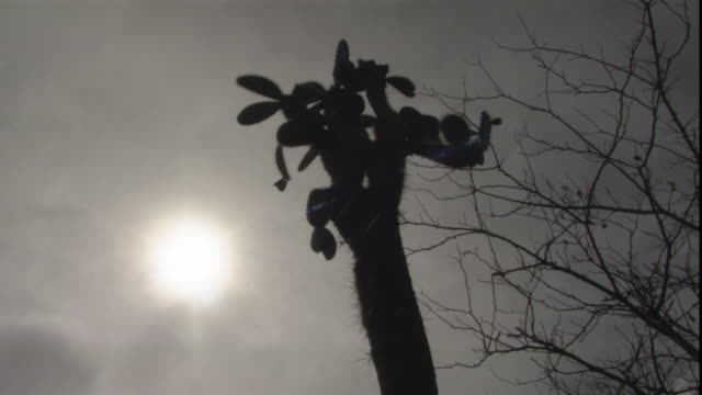 stockvideo's en b-roll-footage met a giant prickly pear and bare tree branches are silhouetted against the sun. - bare tree
