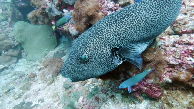 giant puffer fish (arothron stellatus) on underwater coral reef - wrasse stock videos & royalty-free footage