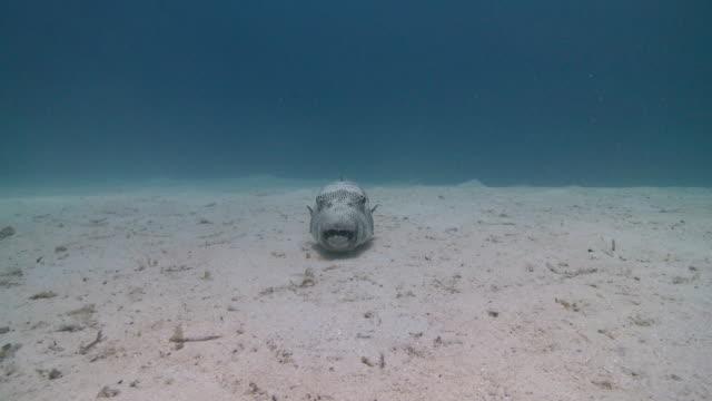 Giant Pufferfish (Arothron stellatus)