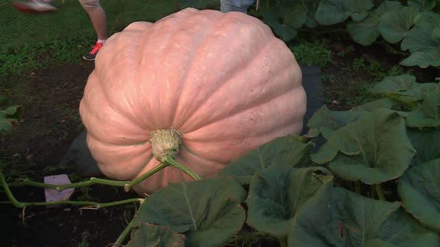 wgn giant pumpkin in a pumpkin patch next to a house near chicago on september 22 2016 - pumpkin stock videos & royalty-free footage