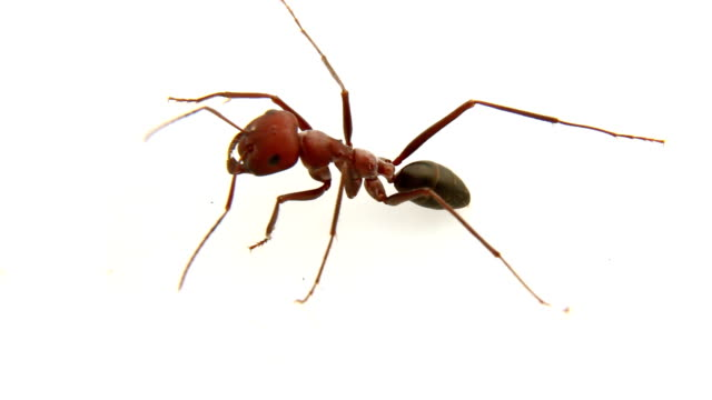 giant red ant - ant stock videos & royalty-free footage