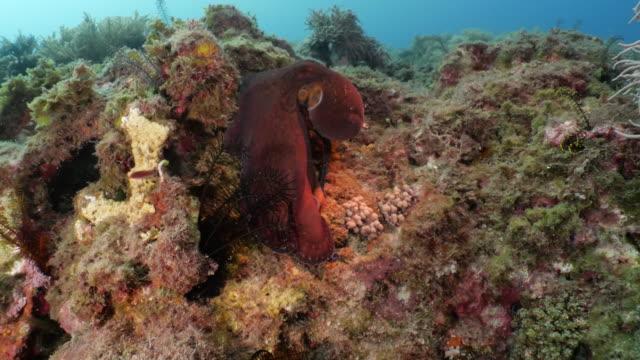 stockvideo's en b-roll-footage met reuze rode octopus die zich bij onderzees koraalrif beweegt - rondrijden