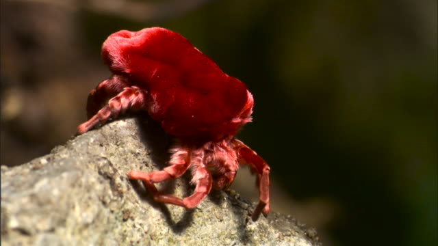 Giant red velvet mite (Trombidium grandissimum) crawls over rock.