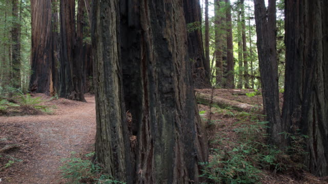 giant redwood forest - zona pedonale strada transitabile video stock e b–roll