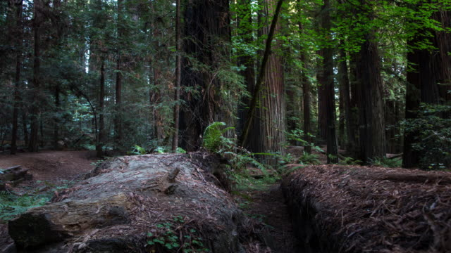 giant redwood forest - pine woodland stock videos & royalty-free footage