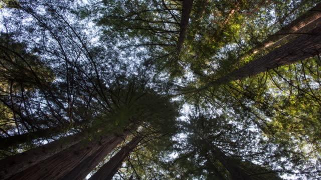 vídeos de stock, filmes e b-roll de floresta de sequoias gigantes - parque estatal de humboldt redwoods