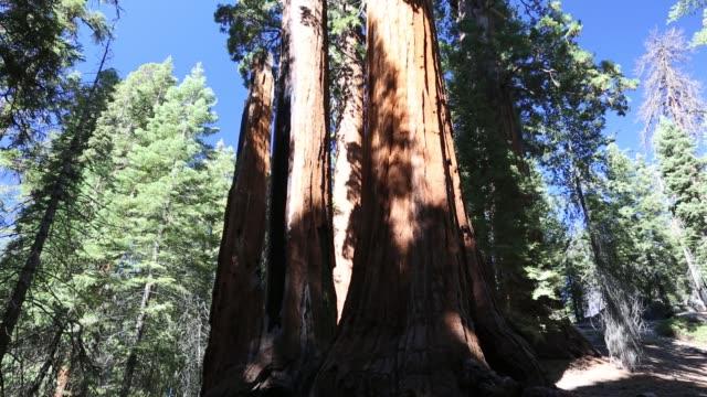 vidéos et rushes de giant redwood, or sequoia, sequoiadendron giganteum, in sequoia national park, california, usa. - séquoia géant
