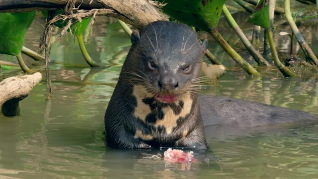 vídeos y material grabado en eventos de stock de nutria gigante de río peces - nutria de río