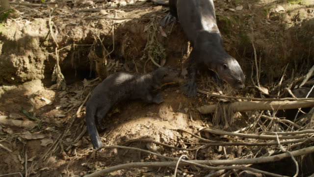 giant river otter (pteronura brasiliensis) emerges from tangled roots and branches followed by pups. - otter stock videos & royalty-free footage