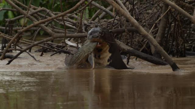giant river otter (pteronura brasiliensis) feeds on catfish in river. - カワウソ点の映像素材/bロール