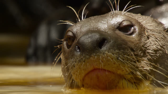 Giant river otter (Pteronura brasiliensis) looks sleepily at camera.