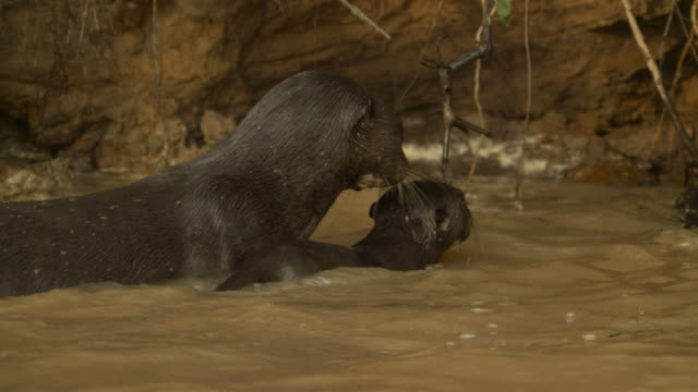 giant river otter (pteronura brasiliensis) mother and baby. - otter stock videos & royalty-free footage